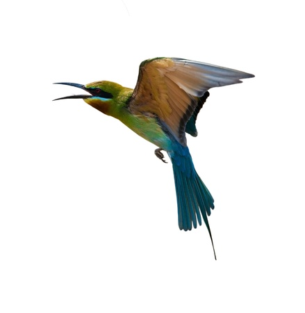 Blue-tailed Bee-eater isolated on white background  Stock Photo