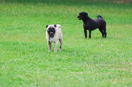 Dog Pug on green grass in a park Stock Photo