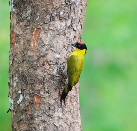 Black-headed Woodpecker  male  Stock Photo