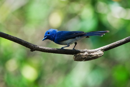 Black-naped Monarch  male  Stock Photo
