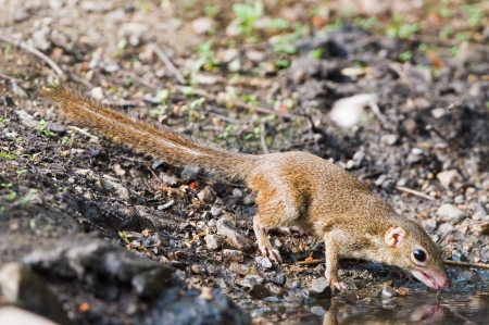 Northern Treeshrew drinking water photo