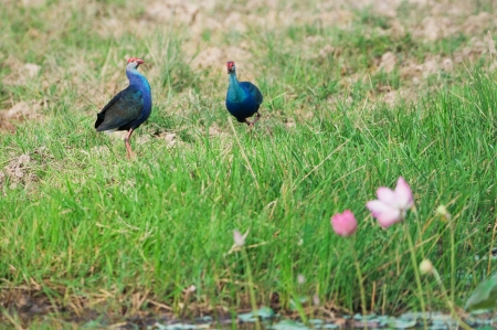 purple swamphen: Couple of Purple Swamphen