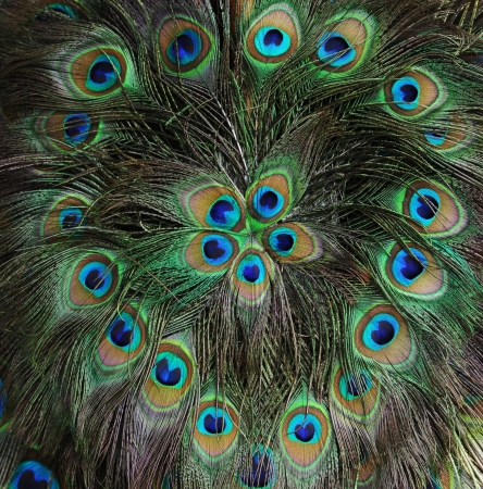Background with patterns made of peacock feather Stock Photo