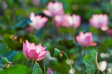 Sacred lotus in lake