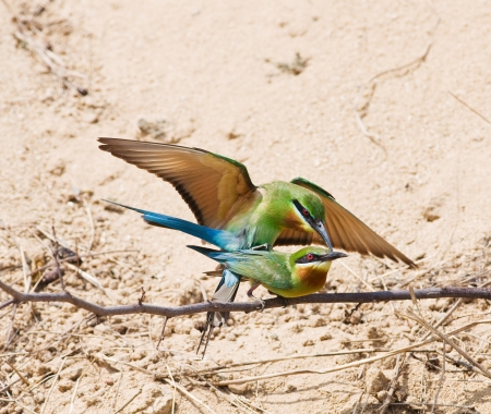 Couple of Blue-tailed Bee-eater