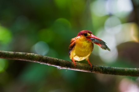 Rufous-backed Kingfisher with prey  fish