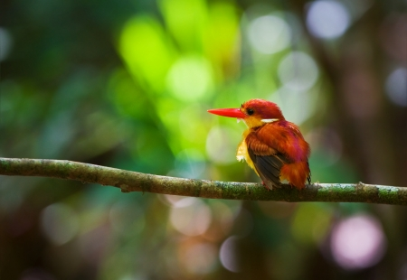 Rufous-backed Kingfisher Stock Photo