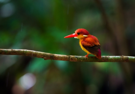 Rufous-backed Kingfisher Stock Photo