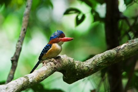 Banded Kingfisher  male
