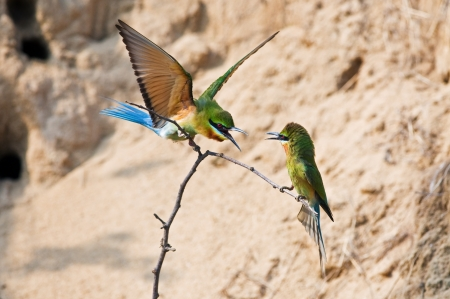 Fighting of birds  Blue-tailed Bee-eater
