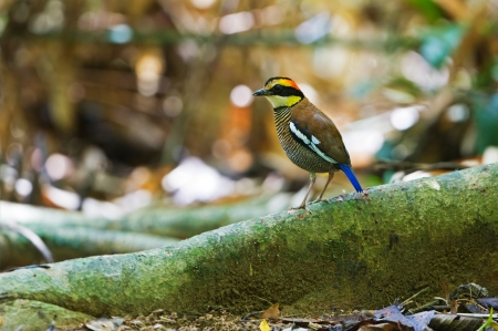 Banded Pitta  female   photo
