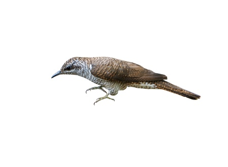 Banded Bay Cuckoo isolated on white background