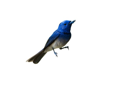 Black-naped Monarch isolated on white background