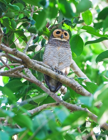 Spotted wood-owl Stock Photo