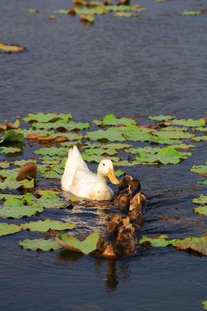 color image mallard duck: Duck Family