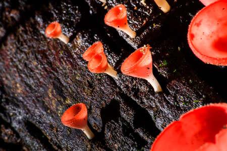fungi: Orange Fungi Cup Mushroom