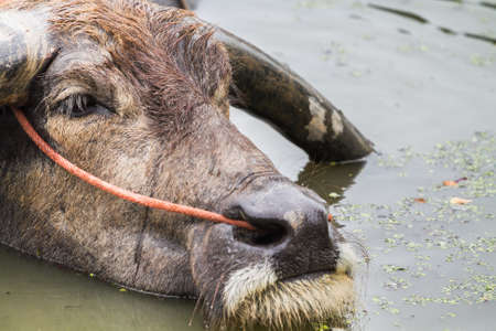 black water buffalo Stock Photo