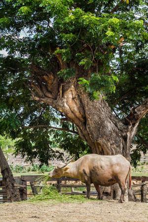 buffalo eating grass Stock Photo
