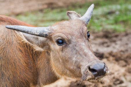 baby water buffalo