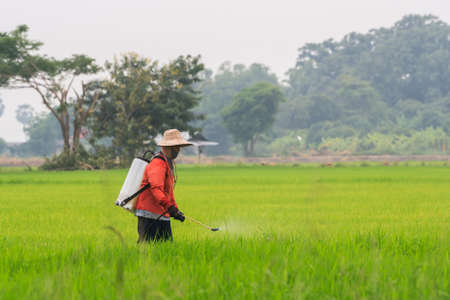 singburi: Singburi,Thailand - June 26, 2011: Farmer inject chemical fertilizer into rice field