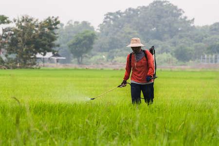 chemical fertilizer: Singburi,Thailand - June 26, 2011: Farmer inject chemical fertilizer into rice field