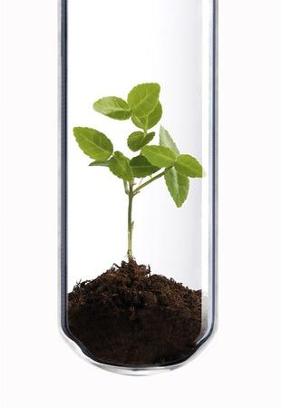 in vitro: Pequeña planta verde en un tubo de ensayo como un símbolo de la biotecnología verde.