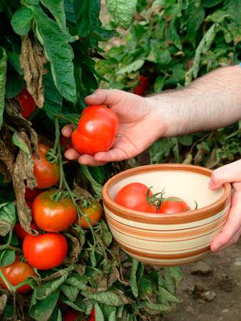allotment: Tomato harvest in Their Own garden Stock Photo