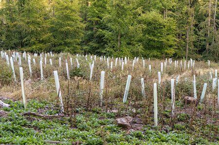 Seedlings for afforestation in the Taunus near Goldgrubenfelsen