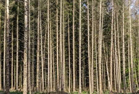 Forest damage due to drought and bark beetles in Germany Stock Photo