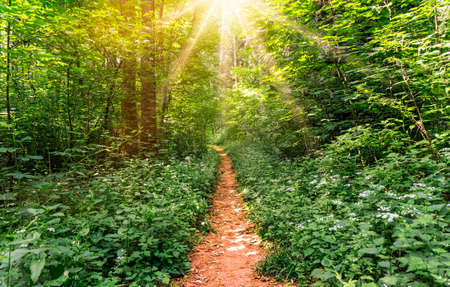 Forest with deciduous trees and a path with sunrays