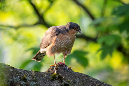 Sparrowhawk from the hawk family with prey Banque d'images