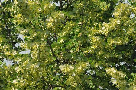 tilia: Linden tree blossom  Tilia cordata
