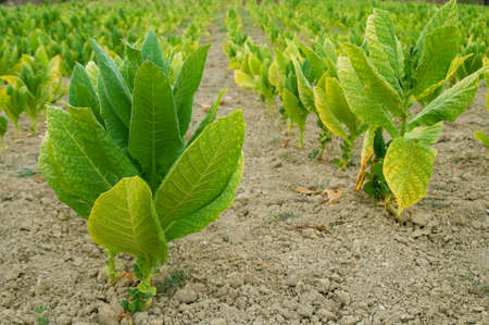 tobacco plants: Tobacco plants  Stock Photo