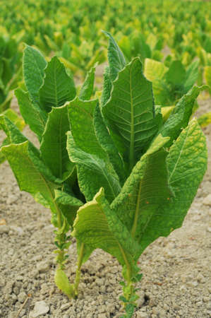 tobacco plants: Tobacco plant closeup  Stock Photo