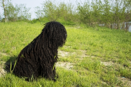 corded: PULI - hungarian herding dog sit on the grass