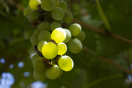 sauternes: white grapes Stock Photo
