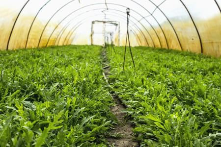 Arugula aka Rocket, Rucola in greenhouse, farmer Zdjęcie Seryjne