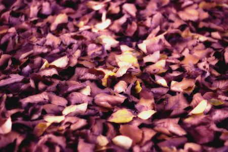 vibrant purple leaf Zdjęcie Seryjne