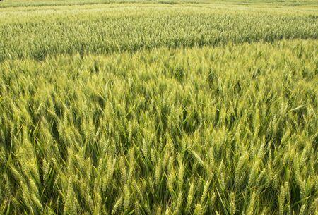 non urban: barley grain wheat field