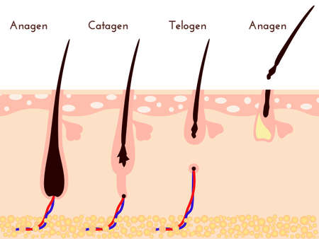 Hare care loss, life cycle of hair fall, vector illustration.