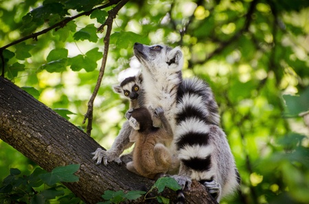 Ring-tailed lemur with two babys in the forest photo