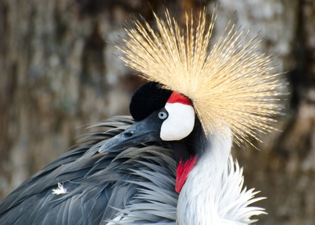 Crowned Crane profile with selective focus photo