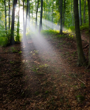 Morning light in a forest photo