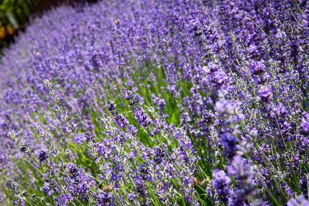 Fresh organic purple lavender flowers photo