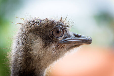 Ostrich portrait with big eye photo