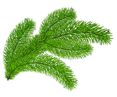 Twig of evergreen fir on white  Vector clip-art