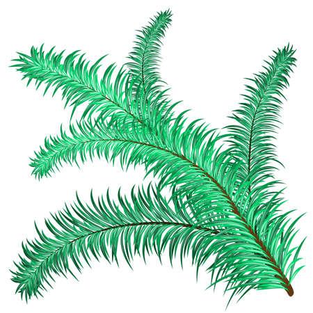 evergreen: Twig of evergreen fir on white. Vector clip-art Illustration