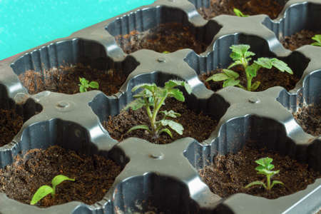 Cultivation of tomato seedlings in plug trays