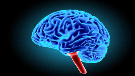 cerebrum: Human brain 3D render