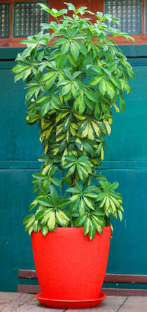 Schefflera flower plant. Stock Photo